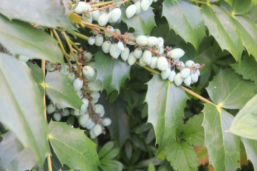 2 mahonia japonica veneux 23 mai 2017 025 (2).jpg