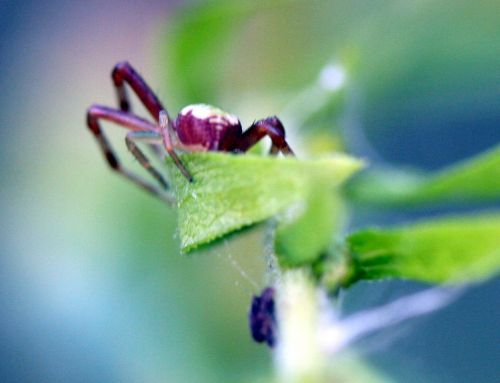 araignée verte derrière romi 22 oct 017.jpg