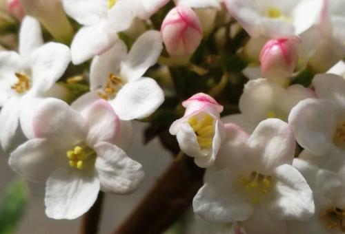 6 viburnum burkwoodii rec veneux 8 avril 2018 005 (1).jpg