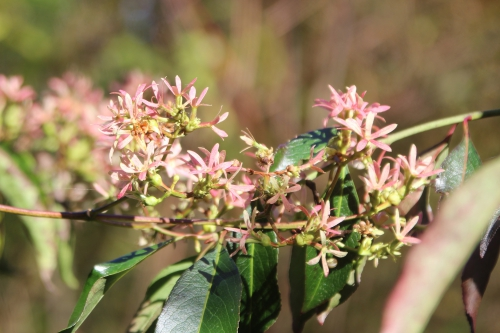 5 heptacodium romi 31 oct 2016 014.jpg