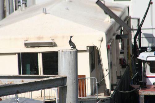 cormoran à paris 9 mars 039.jpg