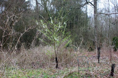 1 prunus salicina romi 18 mars 2014 009 (1).jpg