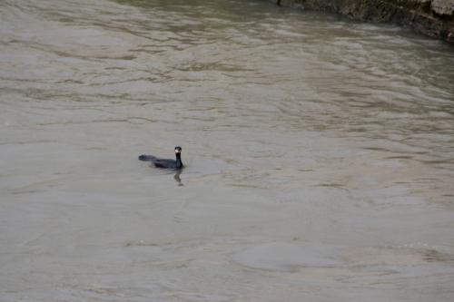 3 cormoran paris 31 janv 2015 207 (1).jpg