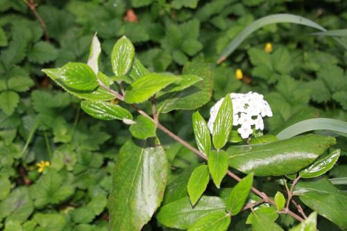 viburnum x burkwoodii veneux 19 avril 2015 009 (2).jpg
