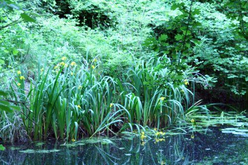 iris eau 23 mai 018.jpg