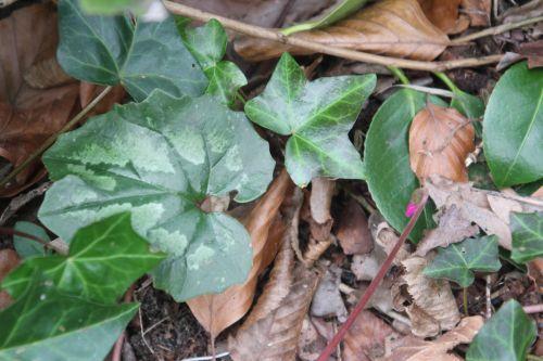 9 cyclamen pseudoibericum 1 veneux 28 mars 2013 006.jpg