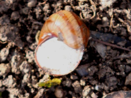 escargot romilly 25 janv 004.jpg