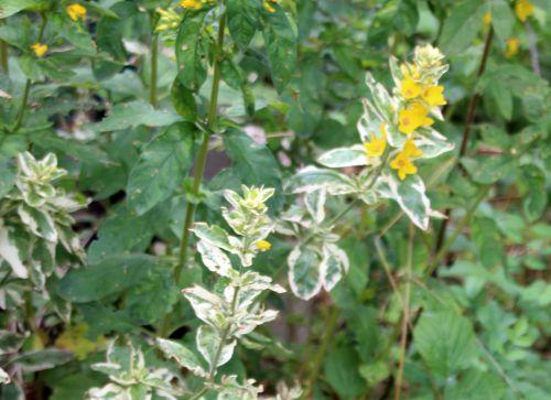 4 lysimachia alexander romi 1 juil 2014 038.jpg