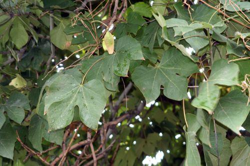 firmiana feuilles paris 26 sept 2010 239.jpg