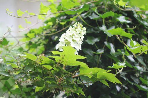 hydrangea quercifolia veneux 24 juin 2012 017.jpg