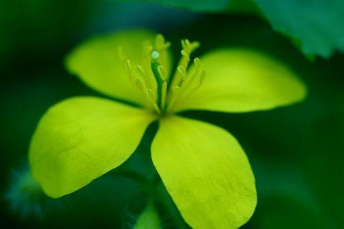 chelidoine fleur veneux 26 avril 048.jpg
