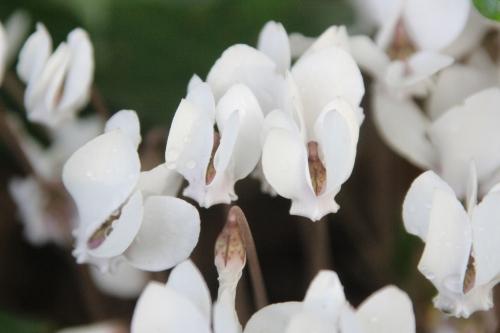 8 cyclamen hederifolium veneux 25 sept 2016 008.jpg