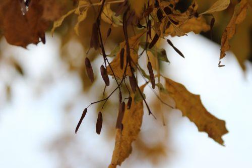 fraxinus ornus paris 1 dec 2013 139 (4).jpg