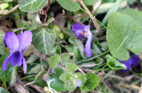 violette sauv 16 mars 005.jpg
