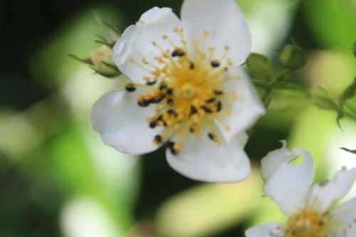 20 rosa mulliganii veneux 16 juin 2016 001 (2).jpg