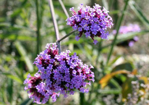 verbena fleurs st jean 27 sept 2008 001 (17).jpg