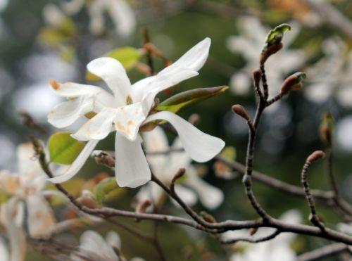 3 magnolia loeb spring snow gb 9 avril 2012.jpg