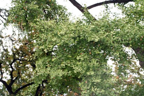 ginkgo paris 6 oct 022.jpg