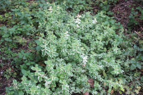6 mentha variegata romi 11 oct 2015 036.jpg