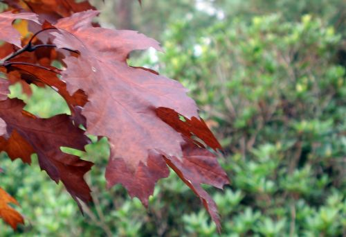 quercus rubra feuille gb 21 oct 2012 367.jpg