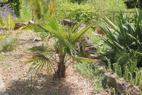 2 trachycarpus takil marnay 16 juin 2013 083 (1).jpg