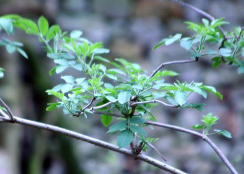 palmensis 28 mars 002.jpg