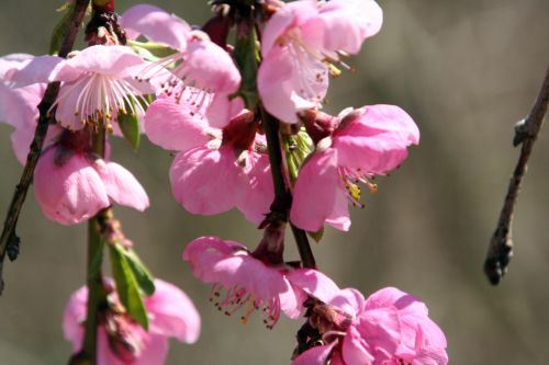 lacrima en fleurs romi 9 avril 018.jpg