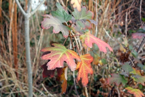 1 hydrangea quercifolia 26 déc 2012 014 (1).jpg