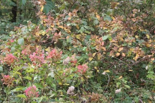 8 hydrangea paniculata romi 19 oct 2016 029.jpg