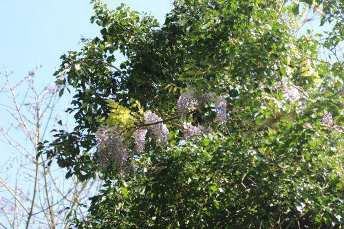 wisteria romi 20 avril 2014 003 (3).jpg
