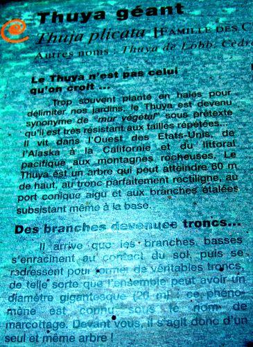 thuja texte 1 barres 11 oct 079.jpg