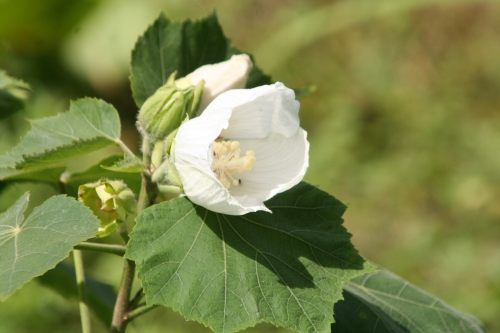 8 hibiscus param romi 24 juil 039.jpg