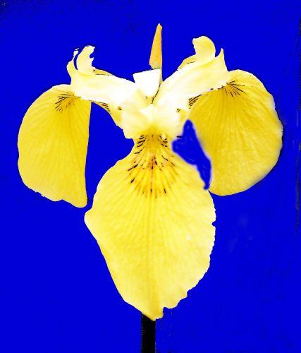 fleur de lys romi 28 mai 062.jpg