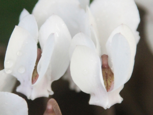 10 cyclamen hederifolium veneux 25 sept 2016 008.jpg