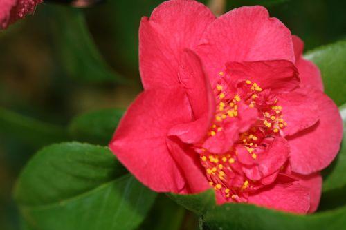 camellia 7 mai 012.jpg
