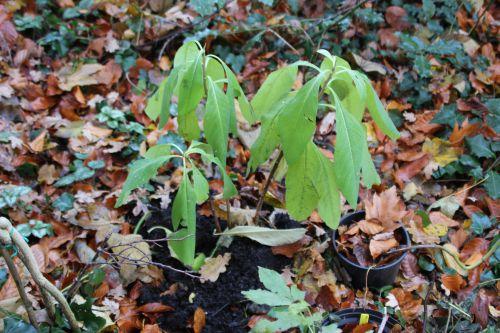 14 edgeworthia veneux 9 déc 2013 005.jpg