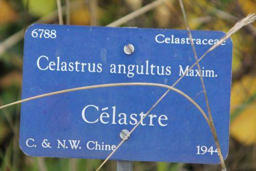 celastrus angultus 1 barres 13 oct 2012 157.jpg