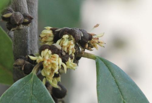 5 sycopsis sinensis paris 2 fév 2013 033 (5).jpg