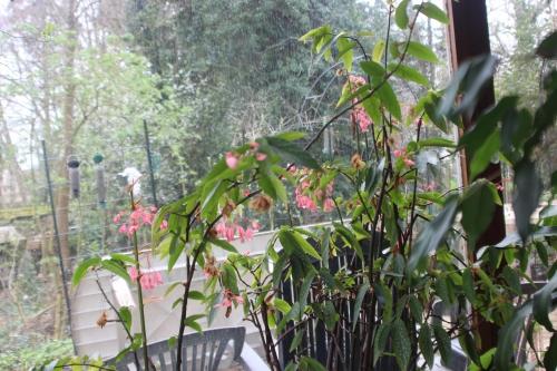 1 begonia maculata 20 mars 2017 IMG_2836 (2).jpg