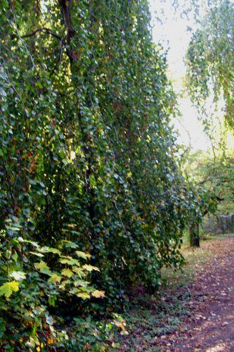 fagus pendula branches barres 11 oct 116.jpg