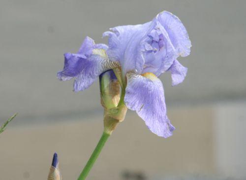iris bleu 17 mai 002.jpg