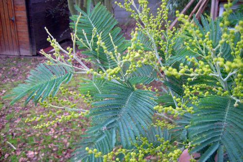 2 acacia dea yves 020[1].jpg