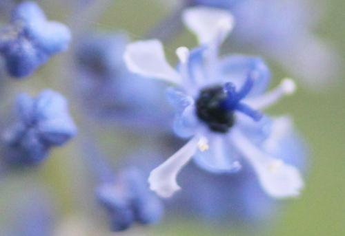 ceanothus arboreus fr veneux 20 avril 2015 004.jpg