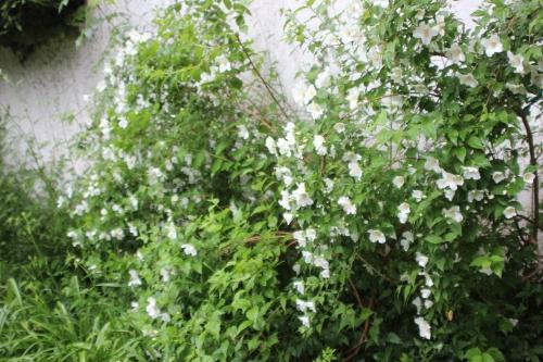 7 philadelphus veneux 11 juin 2016 002.jpg