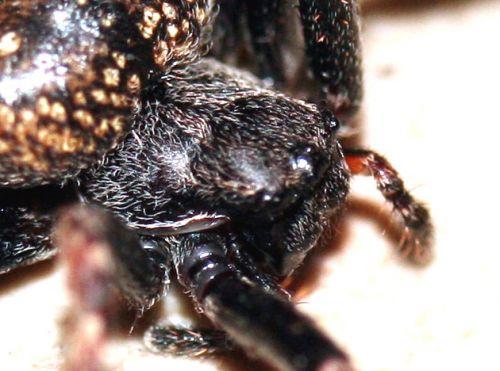 araignée tête veneux 16 mars 065.jpg