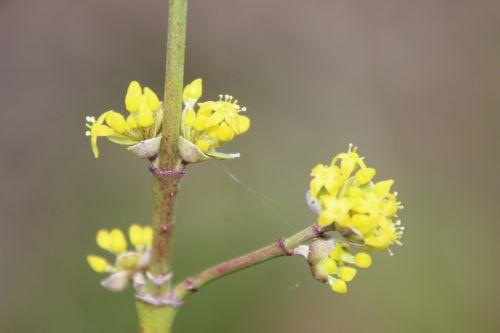 5 cornus yellow romi 16 fev 2014 033 (4).jpg