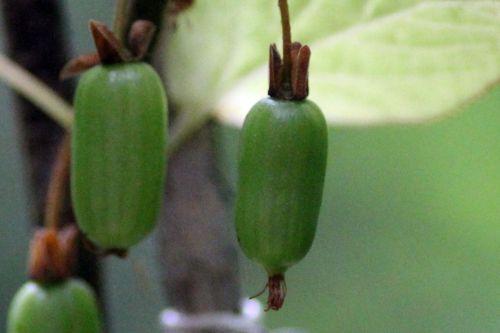 6 actinidia kolomikta fem fruits veneux 27 juin 2013 002 (1).jpg