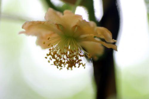 4 actinidia kolomikta mâle veneux 25 juin 2013 006 (5).jpg