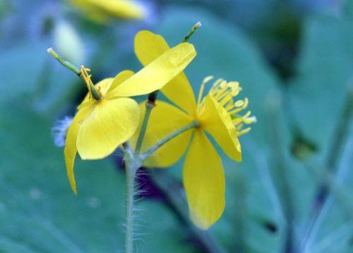chelidoine fleurs veneux 26 avril 056.jpg