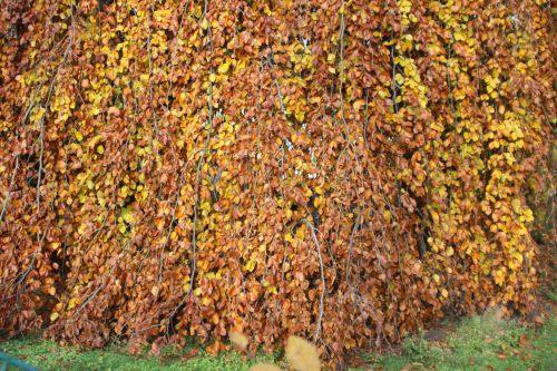 x fagus pendula 3 paris 1 dec 2013 250 (2).jpg